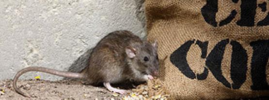 rat-brun